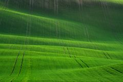 Grande paesaggio di estate con i campi di grano Paesaggio rurale della primavera naturale nel colore verde Giacimento di grano ve Immagine Stock