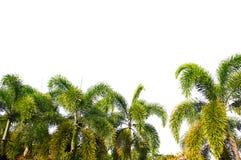 Grande palma isolata su fondo bianco Immagine Stock