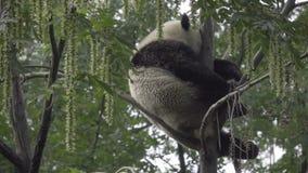 Grande panda schiacciato in un sonno dell'albero stock footage