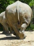 Grande parte coriacea di Rhinocereous Fotografia Stock Libera da Diritti