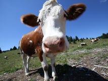 Grande pascolo marrone della mucca nell'alta montagna Fotografia Stock