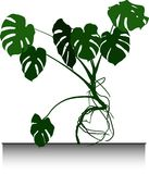 Grande paume Monstera Images stock