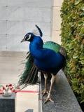 Grande pavone maschio sul bordo che esamina l'ente completo della macchina fotografica fotografie stock libere da diritti