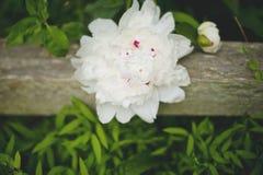 Grande peônia branca Imagem de Stock Royalty Free