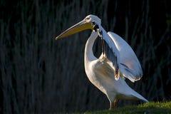 Grande pelicano branco imagem de stock