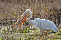 Grande pelicano branco fotos de stock