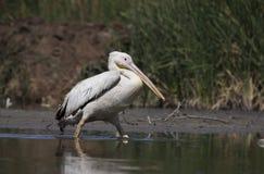 Grande pelicano branco de Gujarat, Índia Imagem de Stock Royalty Free