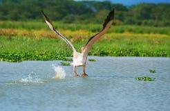 Grande pelicano branco de voo foto de stock royalty free