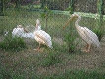 Grande pelicano branco no jardim zoológico Imagem de Stock Royalty Free
