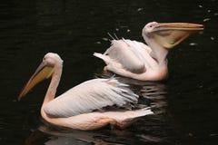 Grande pelicano branco (onocrotalus do Pelecanus) Imagem de Stock