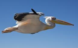Grande pelicano branco - onocrotalus do Pelecanus - Namíbia Fotos de Stock