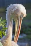 Grande pelicano branco oriental Fotografia de Stock