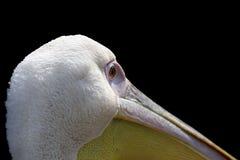 Grande pelicano Fim do onocrotalus do Pelecanus acima, retrato bonito Imagem de Stock