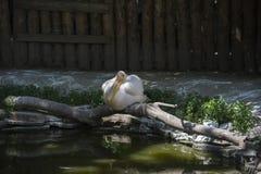 Grande pellicano bianco Immagine Stock Libera da Diritti