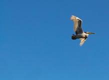 Grande pellicano bianco, pelecanus onocrotalus, in volo Fotografia Stock Libera da Diritti