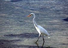 Grande pesca del Egret Fotografie Stock