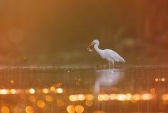 Grande pesca del Egret immagine stock libera da diritti
