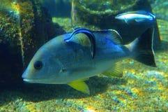Grande pesce che è pulito dal più piccolo pesce Immagini Stock