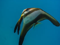 grande pesce della farfalla nel mare Immagine Stock Libera da Diritti