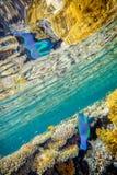 Grande pesce di scarus Fotografia Stock