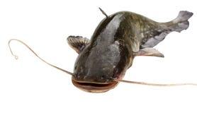Grande pesce gatto del fiume Fotografia Stock Libera da Diritti