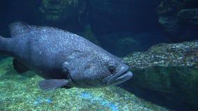 Grande pesce grigio con gli occhi rotondi e grandi nuotate della bocca sopra il fondo pietroso subacqueo video d archivio