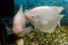 Grande pesce nel fishingl di gorami nero dell'acquario Immagine Stock