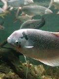 Grande pesce scray grigio nel carro armato immagini stock libere da diritti