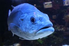 Grande pesce selvaggio in acquario Immagine Stock