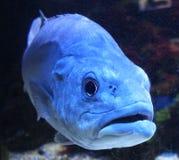Grande pesce selvaggio nella fine in environement naturale Immagine Stock
