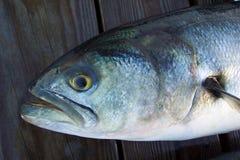 Grande pesce serra difettoso immagine stock