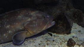 Grande pesce sotto una roccia stock footage