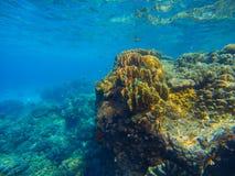Grande photo sous-marine de récif coralien Vue bleue de mer d'Aqua avec le soulagement de fond marin Image libre de droits