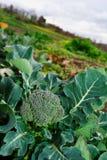 Grande pianta del broccolo Fotografia Stock Libera da Diritti