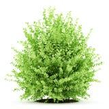 Grande pianta del legno di bosso isolata su bianco Fotografia Stock