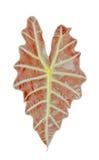 Grande pianta della foglia Immagini Stock