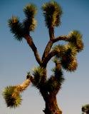 Grande pianta di deserto dell'albero di Joshua Fotografia Stock Libera da Diritti