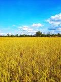 Grande pianta di riso dorata in cielo blu fotografia stock libera da diritti