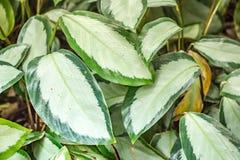 Grande pianta leaved della giungla in collors bianchi e verde scuro, ricordandoci di conservare madre natura e conservare i parch Immagini Stock