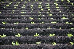 Grande piantagione della lattuga fotografie stock libere da diritti