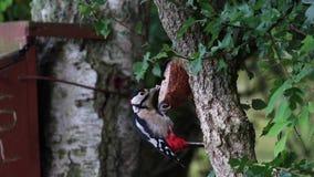 Grande pica-pau, major de Dendrocopos, alimentando por alimentadores da floresta no loch do spynie, scotland durante august filme