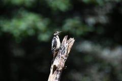 Grande pica-pau manchado em um tronco de árvore grande Imagens de Stock Royalty Free