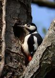 Grande pica-pau manchado fêmea na entrada do ninho fotos de stock royalty free