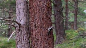 Grande pica-pau manchado, major de Dendrocopos, andando para cima e para baixo o tronco de um pinheiro durante julho no quartzo d vídeos de arquivo