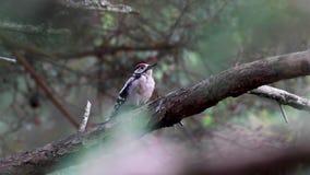 Grande pica-pau manchado, major de Dendrocopos, empoleirado no ramo perto dos alimentadores em uma floresta do pinho, moray, scot video estoque