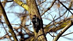 Grande pica-pau manchado, pássaro masculino que procura o alimento em um tronco de árvore video estoque