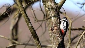 Grande pica-pau manchado, pássaro masculino sentando-se em um tronco de árvore que olha ao redor, bicando para o alimento e voand filme