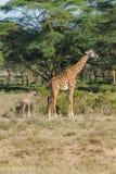 Grande piccola giraffa del bambino del Na d nel selvaggio Fotografia Stock Libera da Diritti