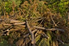 Grande pile des branches de pin Image stock