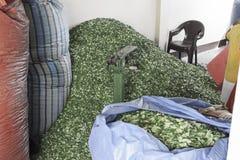 Grande pilha de Coca Leaves que espera para ser posto em uns sacos grandes e para ser tornado mais pesada em Coca Leaves Depot Fotos de Stock Royalty Free